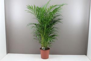 Chrysalidocarpus lutescens, Large Indoor Palm Tree