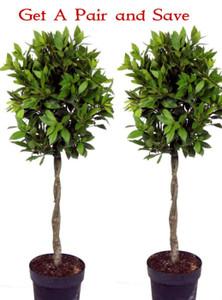 Pair of Laurus nobilis Standard Bay TreeShaped with Plaited Stem - Height 100cm  ( 3ft+)