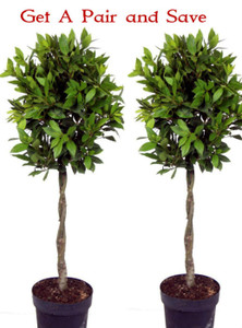Pair of Laurus nobilis Standard Bay Tree Shaped with Plaited Stem - Height 100cm