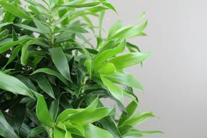 Dracaena Leaves