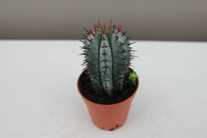 spiked cactus gift
