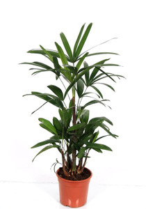 "Indoor Lady Palm "" Rhapis Excelsa "" 85cm pot 17   . plant as supplied . One of the most beautiful indoor plants , Dark green leaves , very easy to grow."