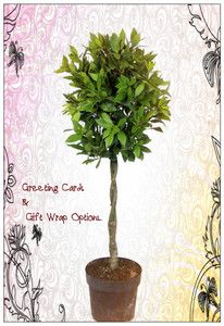 Bay Leaf Shaped Plant , Excllent Gift , Greeting cards and and Gift Wrap are optional.