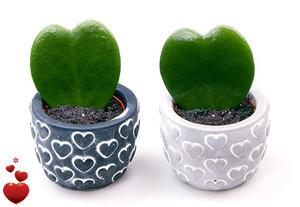 Hoya Kerri heart succulent