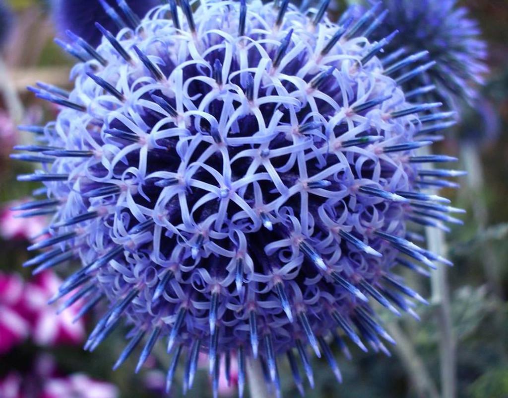 Globe Thistle Flower Essence