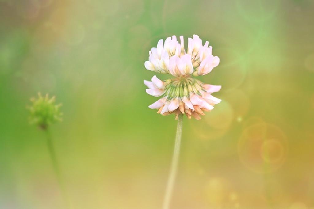 Clover Flower Essence
